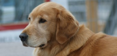 Canadian_Golden_Retriever